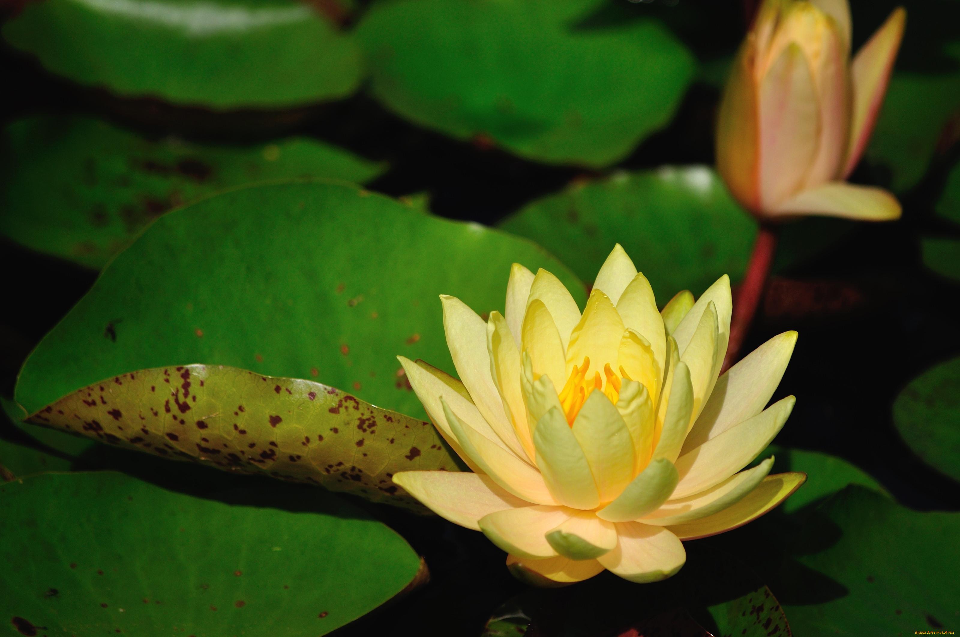 кувшинки фото цветов помогают женщине пиоры